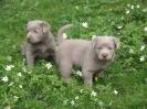 Labrador Welpen_16
