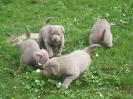 Labrador Welpen_20