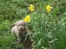 Labrador Welpen_23