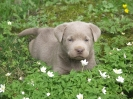 Labrador Welpen_3