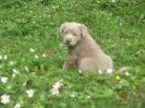 Labrador Welpen_7